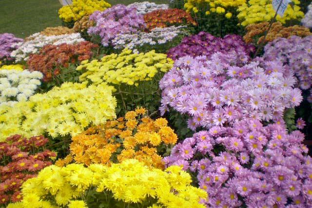 दशौं गोदावरी फूलको प्रतियोगितात्मक प्रदर्शनी हुने