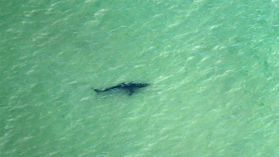शार्कको निगरानीका लागि अष्ट्रेलियाले थप ड्रोनहरु राख्ने